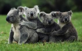 Koalas for Emilia