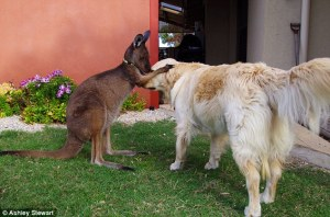 Image from: http://abcnews.go.com/International/meet-dusty-australian-pet-kangaroo-thinks-dog/story?id=30557833